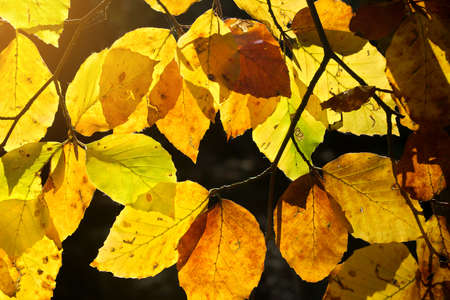 Beech leaves backlit by the sun in autumn colors. Autumn nature background.