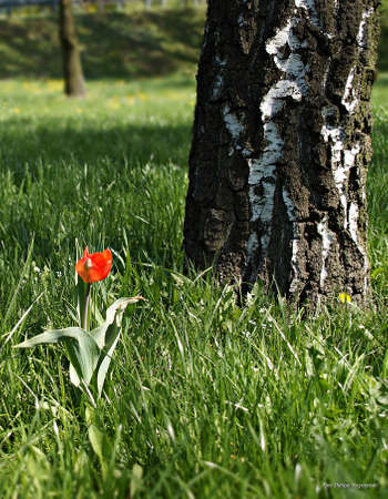 Tulip in the meadow