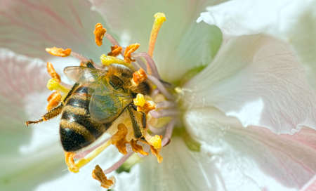 collecting: Honey bee collecting pollen from flowers Stock Photo