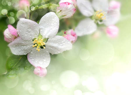 macro animals: Blossoming apple. Branch of apple tree in bloom in the spring. Close-up. Stock Photo