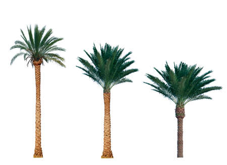 human palm: palm tree isolated on white background