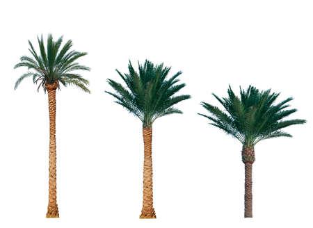 dattes: palmier isolé sur fond blanc Banque d'images