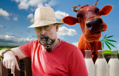 Farmer with a smoking pipe in a pince-nez and a cow on a green meadow background. Farm products-milk.Cheerful cow with merry milk Foto de archivo