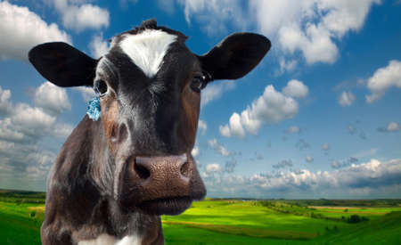 creamery: Cow spotty. Against the background of meadows and fields in a bright sunny day Stock Photo