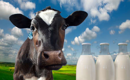Cow spotty. Against the background of meadows and fields in a bright sunny day.Cow spotty. Against the background of meadows and fields in a bright sunny day. Bottles with milk