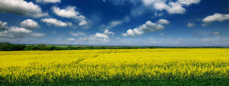 Beautiful yellow field of rape against the blue sky and trees