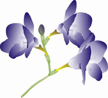 stamen: branch with purple flowers freesia
