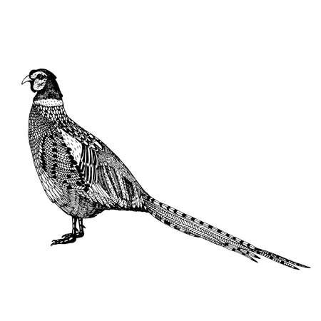 abstracte hand getekende vector illustratie met een fazant die op een witte achtergrond Stock Illustratie