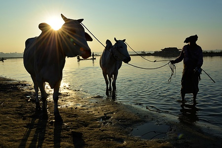 Siluette of sian farmer standing with water cows on sunrise photo