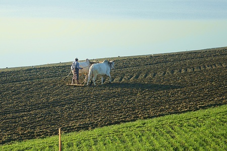 ploughing field: Farmer plowing the farmland in the conservative way with wooden plough and bulls  Stock Photo