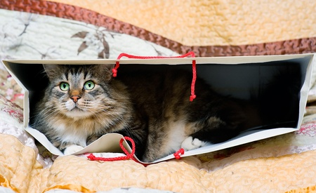 Siberian cat lying in the bag photo