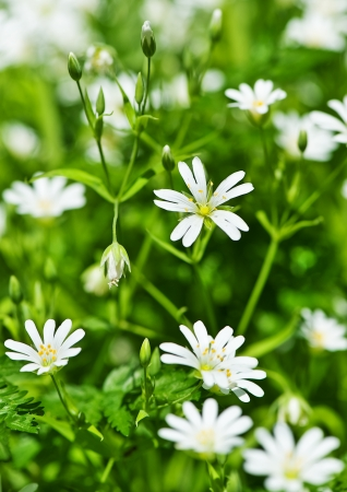 White spring flowers anemone  photo