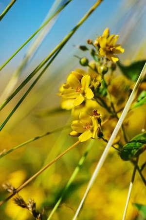 Wild yellow flowers in summer Stock Photo - 14554534