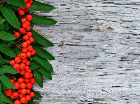 Red rowan berries and green leaves background photo