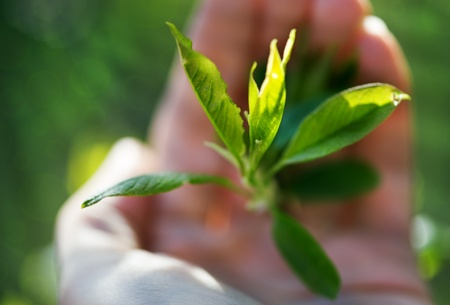 Green bud plant in human hand photo