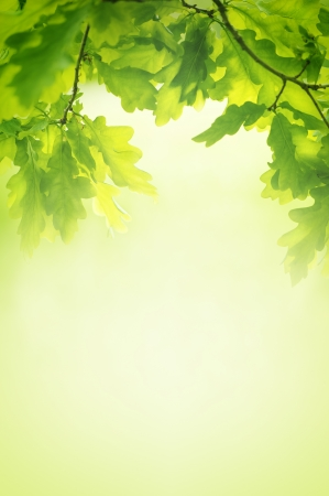 Green leaves of oak background photo