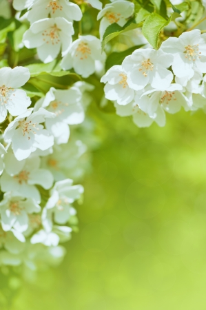 White cherry blossom flowers background photo