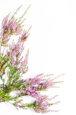 Branches of heather on the white background photo