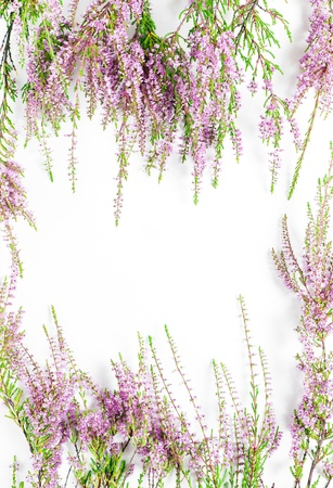 Branches of heather on the white background