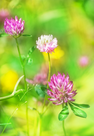 Flowering pink clover on the meadow photo