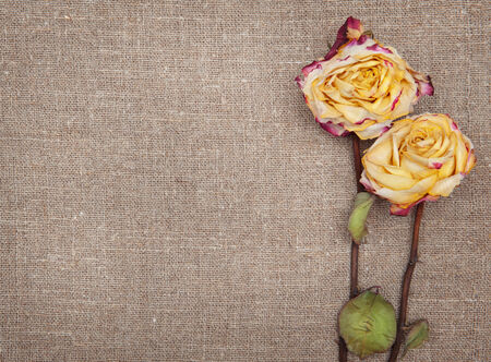 Dry roses on the burlap textile background photo