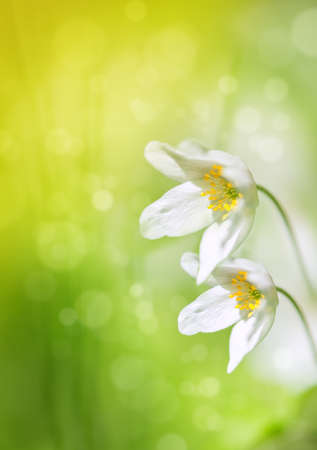 White spring flowers on the green grass background photo