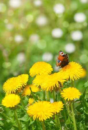 Beautiful butterfly sitting on yellow dandelion photo
