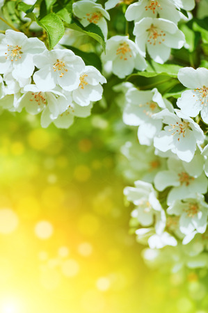 White cherry blossom flowers background photo