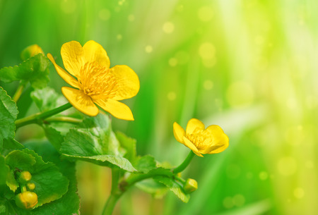 Yellow flowers on the summer green background photo