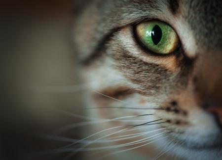 Close-up van tabby kat gezicht. Fauna achtergrond Stockfoto