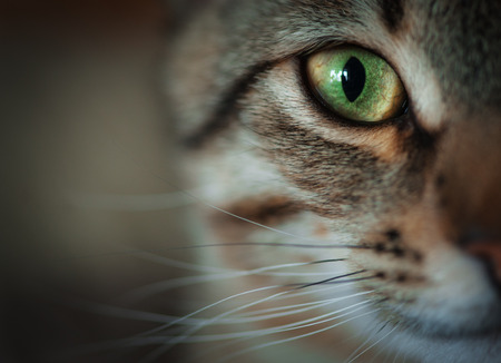 cat eye: Closeup of tabby cat face. Fauna background