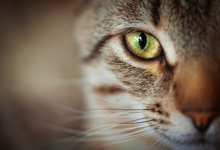 green eyes: Closeup of tabby cat face. Fauna background