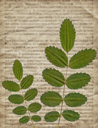 dry leaf: Old vintage newspaper background with green dry plants