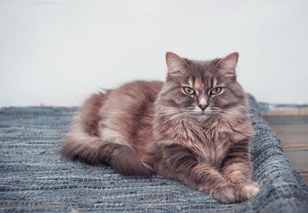 blue carpet: Fluffy cute cat lying on the blue carpet