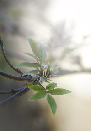 Fresh green leaves on tree branch. Spring and summer concept
