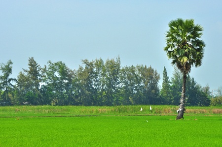 sugar palm: Sugar palm tree in the rice paddy field  Stock Photo