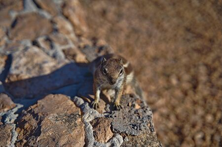 Canary Squirrel sitting on a wall on Fuerteventura Standard-Bild - 133167164