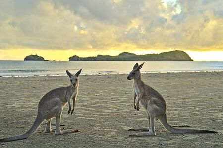 Kangaroo during sunrise at Cape Hillsborough. They disappear as soon as it becomes to hot