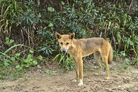 Wild dingo on Frazer Island approaching curiously. Probably smelling some food