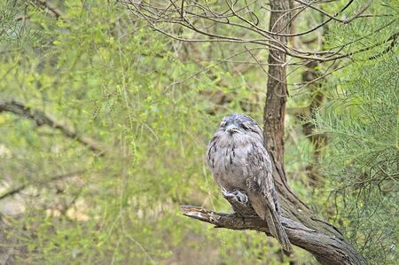 Tawny frogmouth owl in the Serendip Sanctuary near Geelong