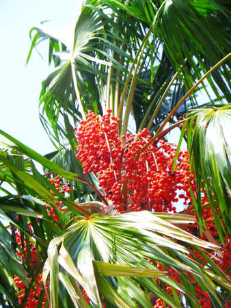 waft: Red Dates Palm Against Summer Blue Sky when waft or soft wind.