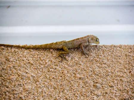 sandstone: Lizard on sandstone Stock Photo