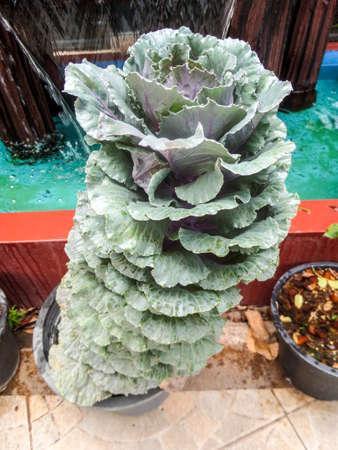 temperament: cabbage