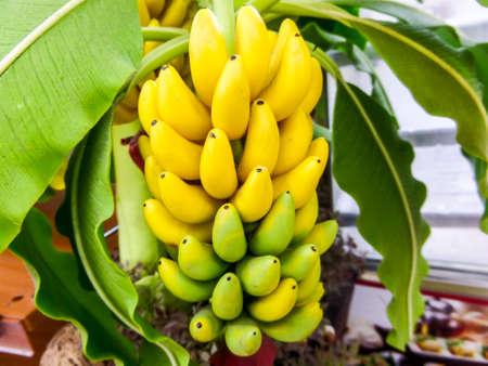 banana tree: Cavendish Banana handmade made by japanese clay