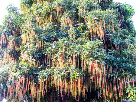 barringtonia: Indian Oak Freshwater Mangrove Barringtonia acutangula