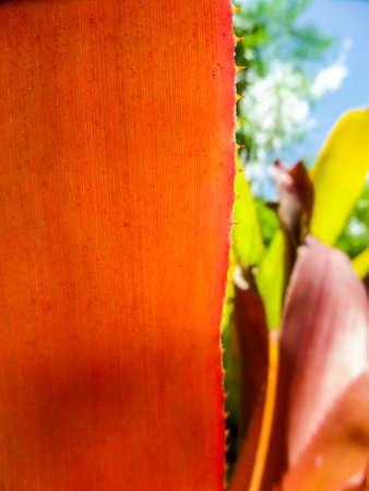 plants species: Il Bromeliaceae (le bromelie) sono una famiglia di piante fiorite monocot di circa 3.170 specie autoctone soprattutto all'America tropicale