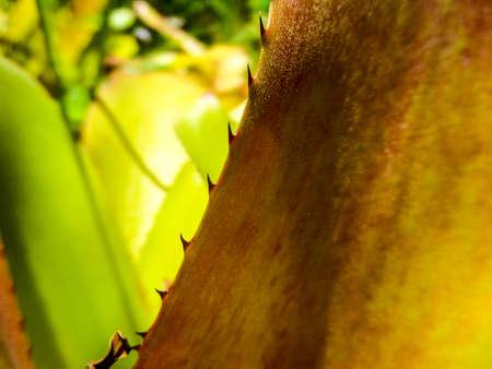 plants species: I Bromeliaceae le bromelie sono una famiglia di piante da fiore monocot di circa 3170 specie autoctone soprattutto all'America tropicale