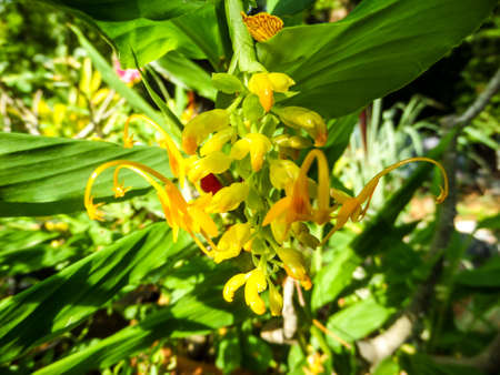 tuberous: Zingiberaceae or the ginger family is a family of flowering plants made up of more than 1300 species of aromatic perennial herbs with creeping horizontal or tuberous rhizomes at park at Banglamung Chonburi