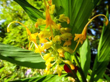 plants species: Zingiberaceae o della famiglia dello zenzero � una famiglia di piante da fiore composto da pi� di 1300 specie di erbe aromatiche con perenni strisciante rizomi orizzontali o tuberose al parco a Banglamung Chonburi