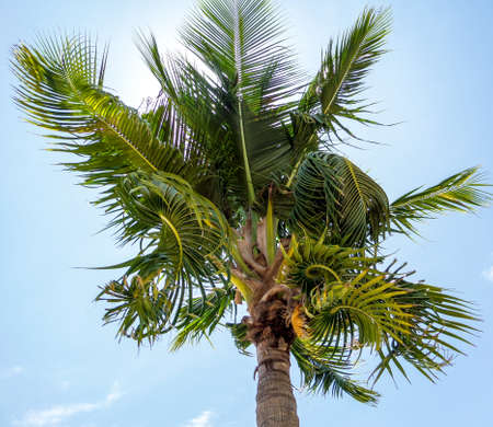 light complexion: Coconuts and twist leaves in blue sky Stock Photo